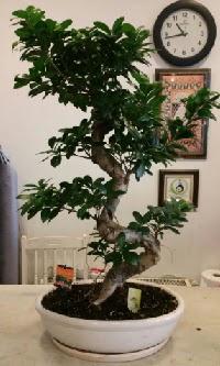 100 cm yüksekliğinde dev bonsai japon ağacı  Siirt çiçek online çiçek siparişi