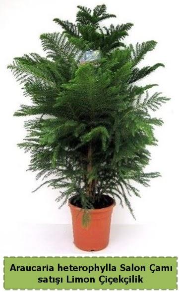 Salon Çamı Satışı Araucaria heterophylla  Siirt yurtiçi ve yurtdışı çiçek siparişi