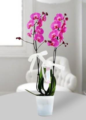 Çift dallı mor orkide  Siirt çiçekçi telefonları