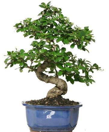 21 ile 25 cm arası özel S bonsai japon ağacı  Siirt güvenli kaliteli hızlı çiçek