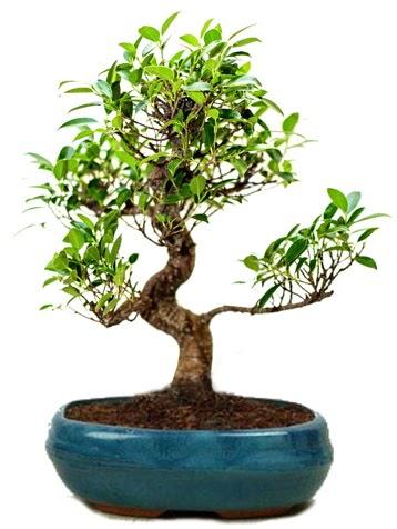 25 cm ile 30 cm aralığında Ficus S bonsai  Siirt çiçek servisi , çiçekçi adresleri