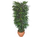 Siirt çiçek yolla  Özel Mango 1,75 cm yüksekliginde