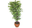 Ficus özel Starlight 1,75 cm   Siirt hediye çiçek yolla
