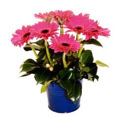 vazo içerisinde gerbera çiçekleri   Siirt ucuz çiçek gönder