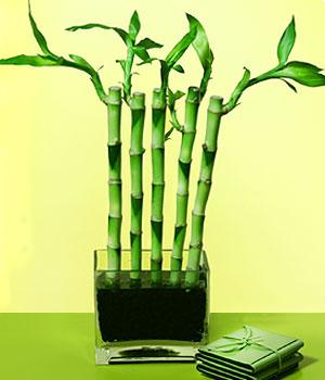 Siirt çiçekçiler  Good Harmony Lucky Bamboo camda