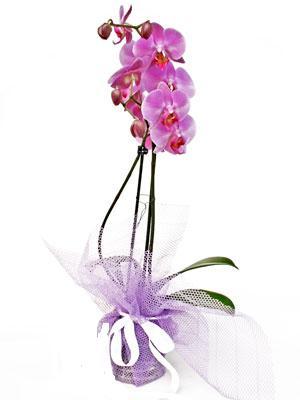 Siirt çiçekçiler  Kaliteli ithal saksida orkide