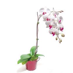 Siirt kaliteli taze ve ucuz çiçekler  Saksida orkide