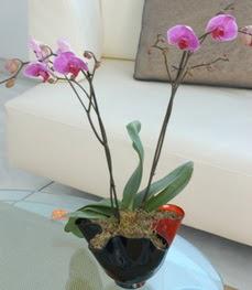 Siirt çiçek gönderme sitemiz güvenlidir  tek dal ikili orkide saksi çiçegi