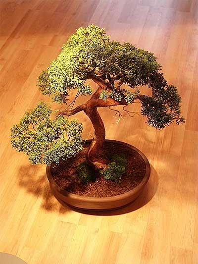 ithal bonsai saksi çiçegi  Siirt cicek , cicekci