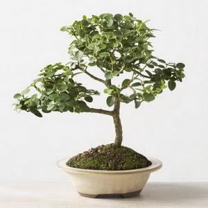 ithal bonsai saksi çiçegi  Siirt çiçek siparişi vermek