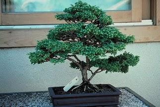 ithal bonsai saksi çiçegi  Siirt internetten çiçek satışı