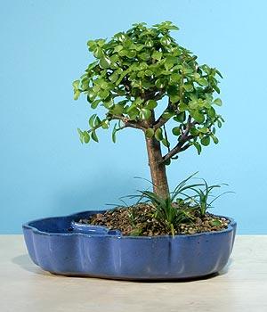 ithal bonsai saksi çiçegi  Siirt çiçekçi telefonları