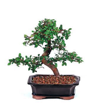 ithal bonsai saksi çiçegi  Siirt çiçek , çiçekçi , çiçekçilik