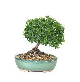 ithal bonsai saksi çiçegi  Siirt çiçekçi mağazası