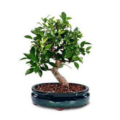 ithal bonsai saksi çiçegi  Siirt çiçek yolla