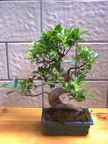 ithal bonsai saksi çiçegi  Siirt internetten çiçek siparişi