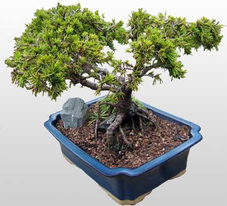 ithal bonsai saksi çiçegi  Siirt çiçek gönderme sitemiz güvenlidir