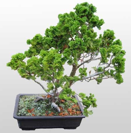 ithal bonsai saksi çiçegi  Siirt çiçek online çiçek siparişi