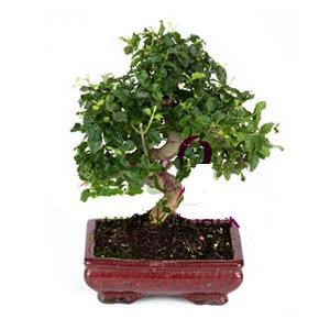ithal bonsai saksi çiçegi  Siirt çiçekçiler