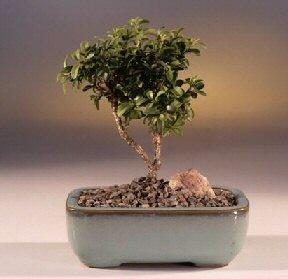 Siirt çiçek mağazası , çiçekçi adresleri  ithal bonsai saksi çiçegi  Siirt çiçek gönderme