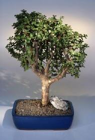 Siirt kaliteli taze ve ucuz çiçekler  ithal bonsai saksi çiçegi  Siirt çiçekçi telefonları