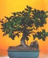Siirt güvenli kaliteli hızlı çiçek  ithal bonsai saksi çiçegi  Siirt çiçek satışı