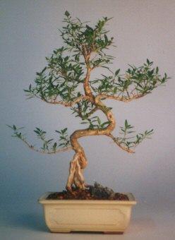 Siirt yurtiçi ve yurtdışı çiçek siparişi  ithal bonsai saksi çiçegi  Siirt çiçek , çiçekçi , çiçekçilik