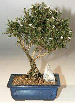 Siirt online çiçekçi , çiçek siparişi  ithal bonsai saksi çiçegi  Siirt ucuz çiçek gönder