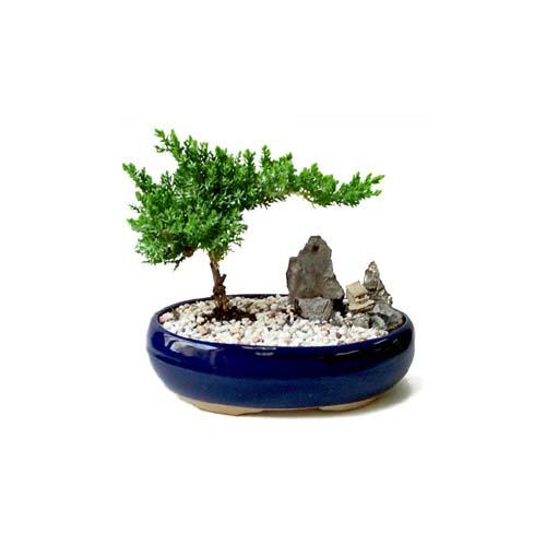 ithal bonsai saksi çiçegi  Siirt kaliteli taze ve ucuz çiçekler
