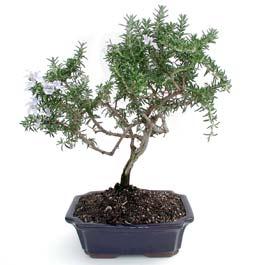 ithal bonsai saksi çiçegi  Siirt güvenli kaliteli hızlı çiçek
