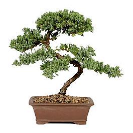 ithal bonsai saksi çiçegi  Siirt çiçek servisi , çiçekçi adresleri