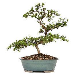 Siirt çiçek online çiçek siparişi  ithal bonsai saksi çiçegi  Siirt çiçek servisi , çiçekçi adresleri