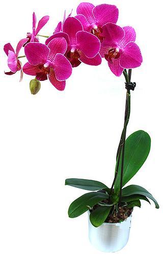 Siirt çiçek gönderme sitemiz güvenlidir  saksi orkide çiçegi