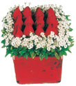 Siirt kaliteli taze ve ucuz çiçekler  Kare cam yada mika içinde kirmizi güller - anneler günü seçimi özel çiçek