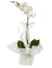 1 dal beyaz orkide çiçeği  Siirt çiçek , çiçekçi , çiçekçilik