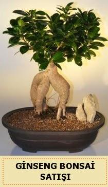 İthal Ginseng bonsai satışı japon ağacı  Siirt çiçek yolla