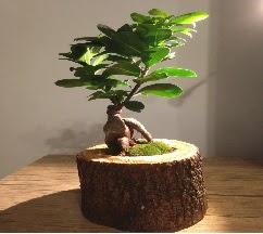 Doğal kütükte Bonsai japon ağacı satışı  Siirt çiçek gönderme