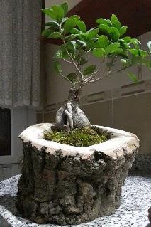 Ahşap kütük içerisinde ginseng bonsai  Siirt çiçek satışı