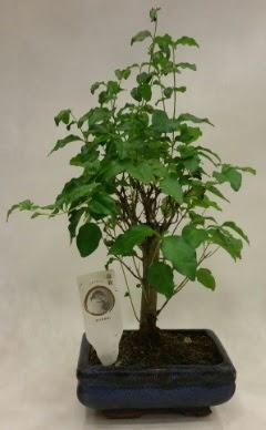 Minyatür bonsai japon ağacı satışı  Siirt güvenli kaliteli hızlı çiçek