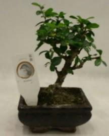 Küçük minyatür bonsai japon ağacı  Siirt kaliteli taze ve ucuz çiçekler