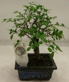 Minyatür ithal japon ağacı bonsai bitkisi  Siirt yurtiçi ve yurtdışı çiçek siparişi