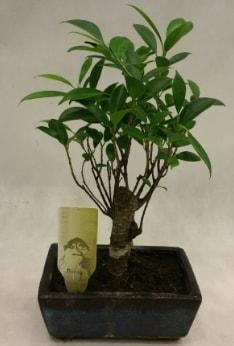 Japon ağacı bonsai bitkisi satışı  Siirt güvenli kaliteli hızlı çiçek