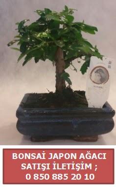 Japon ağacı minyaür bonsai satışı  Siirt yurtiçi ve yurtdışı çiçek siparişi
