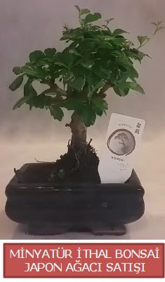 Küçük görsel bonsai japon ağacı bitkisi  Siirt online çiçekçi , çiçek siparişi
