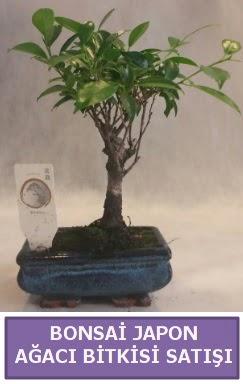 İthal Bonsai japon ağacı bitkisi satışı  Siirt çiçek online çiçek siparişi