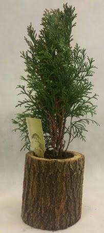SINIRLI STOK Selvi Bonsai Doğal kütükte  Siirt çiçek online çiçek siparişi