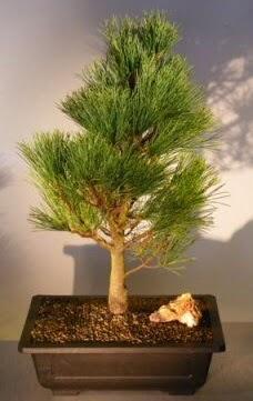 Çam ağacı japon ağacı bitkisi bonsai  Siirt güvenli kaliteli hızlı çiçek
