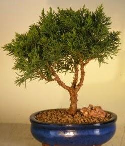 Servi çam bonsai japon ağacı bitkisi  Siirt çiçek mağazası , çiçekçi adresleri