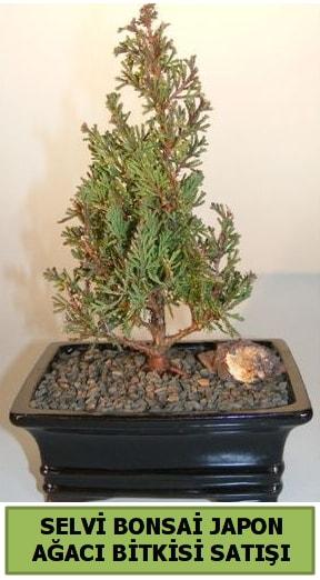 Selvi çam japon ağacı bitkisi bonsai  Siirt güvenli kaliteli hızlı çiçek