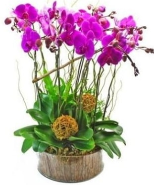 Ahşap kütükte lila mor orkide 8 li  Siirt çiçek gönderme